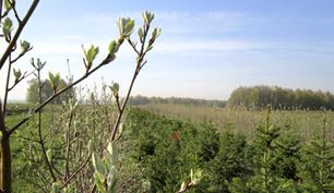 Фото, Заокский район, Тульская область, ландшафтный дизайн, ель сербская, picea omorica