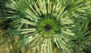 ландшафтный дизайн, японский сад, сосна глаз дракона, хвойные в ландшафте сада, фото