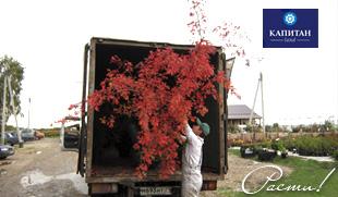 Дерево дуб - поселки Капитан Клаб, Капитан Ленд, Заокский район, Тульская и Московская область.