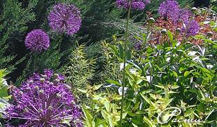 Сад в пейзажном стиле, злаки, хвойные, фото