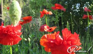 Природный сад, луговой цветник, злаки, маки, фото