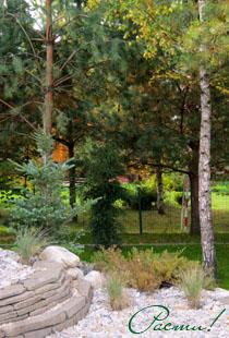 Лесной дизайн, хвойные, фото, заокский