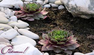 природный сад, альпийский дизайн, альпийская горка, рокарий, фото